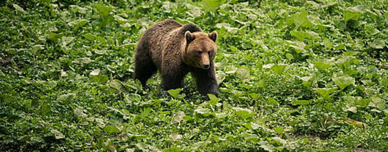 Urșii, mistreții, ciorile, bursucii sau căpriorii strică culturile în județul Cluj
