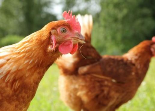 """Găinile din Câmpia Turzii vor putea fi vândute doar """"la negru"""""""