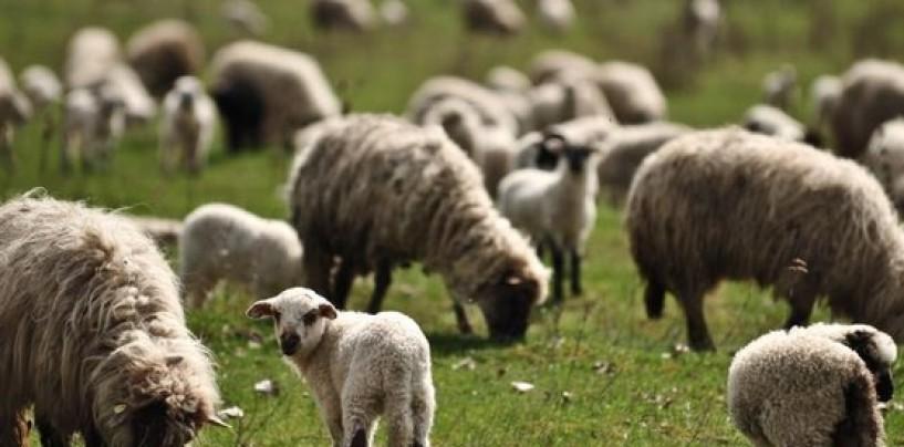 Consiliul județean anunță împreunatul oilor. Turda e în topul județului cu o oaie la trei locuitori