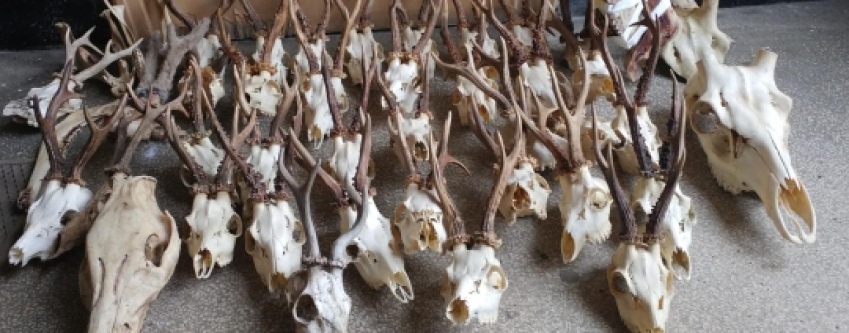 Peste 60 de trofee de căpriori confiscate de la braconieri în judeţul Mureş