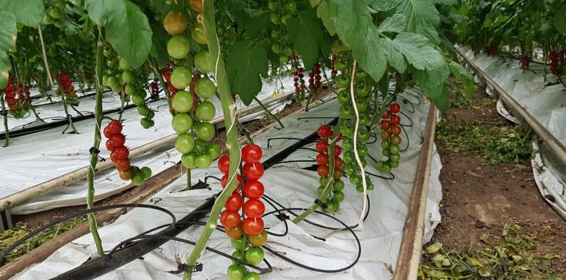 Primele tomate produse cu susținere guvernamentală au ajuns în magazinele din Cluj