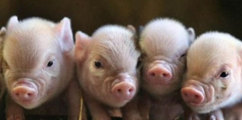 Interdicție privind înmulțirea porcilor în gospodăriile populației. Normele fanteziste ale ANSVA