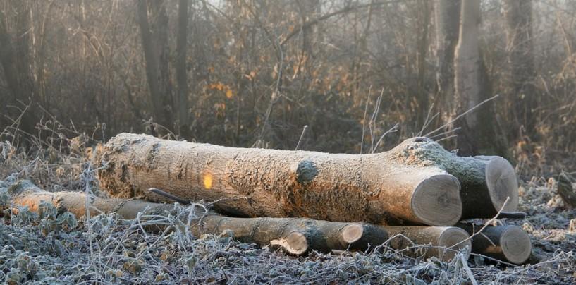 Sute de copaci tăiați din nou în Beliș. Pădurarul are dosar penal