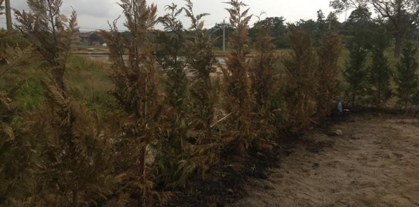 Dorel,  la Primăria Turda. Au plantat rășinoase pe solurile sărăturate din Băi