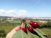 Cireșe de la Stațiunea de Cercetări Horticole a USAMV Cluj-Napoca, puse în vânzare la magazinele proprii