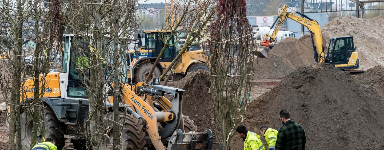 La Turda se taie copaci. În lume, autoritățile locale fac eforturi să salveze arborii maturi pe care îi replantează